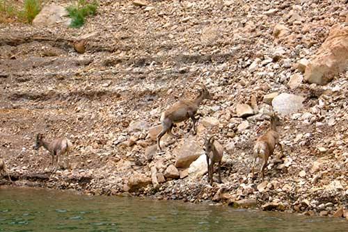 Lake-Mead-Wildlife